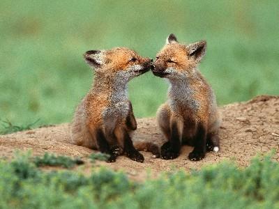 Lookit the cute li'l foxes!